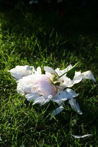 Fallen clipped peony flower